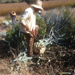 Agaveras in the fields
